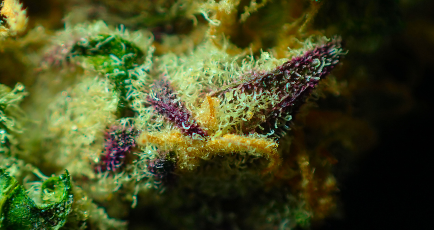 What are Flavonoids In Cannabis? The Full Explainer